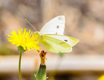 White butterfly on yellow innkeeper.  stock images