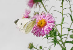 White butterfy and pink asters Stock Images