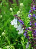 White bytterflies,  Aporia crataegi Stock Images