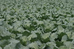 White Cabbage Stock Images