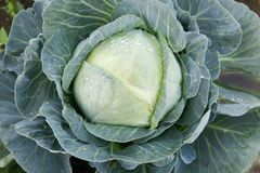 White cabbage Royalty Free Stock Photo