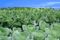White cabbage. Agricultural cabbage cultivation under blue sky royalty free stock photography