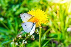 White cabbage butterflies drinking nectar on a yellow flower royalty free stock photography