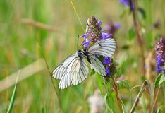 White cabbage butterflies on small violet flowers.  stock photography