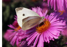 White cabbage butterfly. Sitting on flower (chrysanthemum Royalty Free Stock Photography