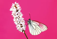 White Cabbage butterfly. White Cabbage butterfly in a meadow plant in the summer on a pink background royalty free stock photo