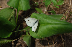 White cabbage butterfly on a big green leaf. Stock Photo