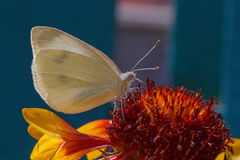 White cabbage butterfly Stock Images