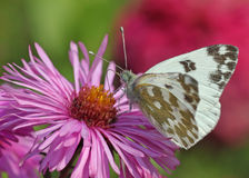 Butterfly on chrysanthemum. White cabbage butterfly on chrysanthemum Stock Photo