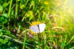 White cabbage butterfly drinking nectar on a yellow flower royalty free stock photography