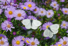 White Cabbage Butterfly duet Royalty Free Stock Photo