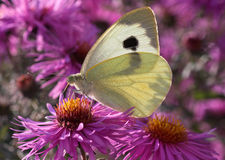 White butterfly on flower. White cabbage butterfly on flower (chrysanthemum Royalty Free Stock Image