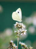 White cabbage butterfly on a flower Royalty Free Stock Photography
