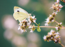 White cabbage butterfly on a flower Stock Image