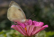 White cabbage butterfly on flower Stock Photography
