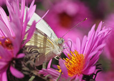 Butterfly in flowers. White cabbage butterfly in flowers (chrysanthemums Stock Photo