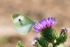 White cabbage butterfly Stock Photos