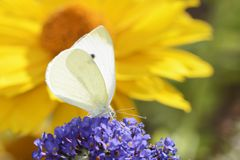White Cabbage Butterfly Royalty Free Stock Images