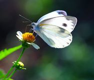 White Cabbage Butterfly. A macro shot of the white cabbage butterfly on a wild flower that I took on the roadside at sunrise Stock Images