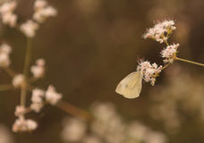 White cabbage butterfly Pieris rapae Stock Images