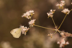 White cabbage butterfly Pieris rapae Royalty Free Stock Photography
