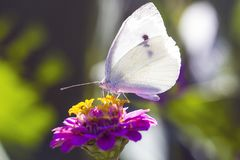 White Cabbage butterfly on pink zinnia flower, side view. White Cabbage butterfly on pink zinnia flower, macro photo. Pieris brassicae butterfly, side view Stock Photos