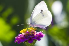 White Cabbage butterfly on pink zinnia flower. Macro photo. Pieris brassicae butterfly Royalty Free Stock Image