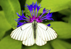 White Cabbage butterfly. Royalty Free Stock Photo