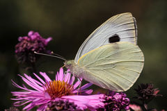 White cabbage butterfly. Sitting on flower Royalty Free Stock Photo
