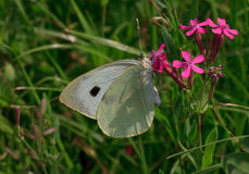 White cabbage butterfly. On wild flower Royalty Free Stock Photo