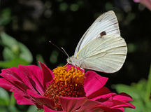 White cabbage butterfly on zinnia Royalty Free Stock Images