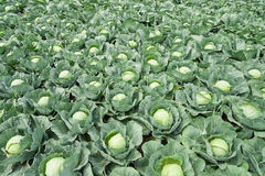 White cabbage field Royalty Free Stock Image