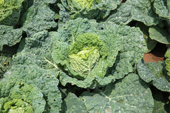 White Cabbage Stock Image