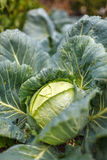 White cabbage in the garden, after rain Royalty Free Stock Photos