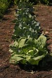 A number of village wealth, white cabbage. White cabbage grown in the garden in the village stock photography