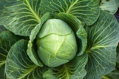 White Cabbage Head