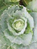 White cabbage Stock Photos