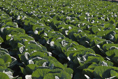 White cabbage plantation Stock Photos