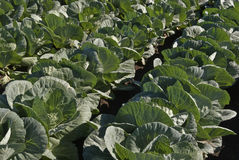 White cabbage plants Royalty Free Stock Photography