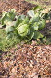 White cabbage plants in a vegetable bed royalty free stock photo
