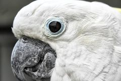 White cackatoo Stock Photography