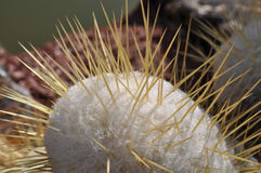 White cactus. With yellow spikes in closeup view in the nature Stock Photo