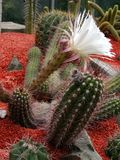 White Cactus. A cactus flowering with white flowers stock images