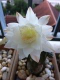 White cactus royalty free stock photo