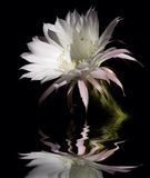 White cactus flower Royalty Free Stock Image