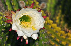 White Cactus flower. Cactus flower anatomy has received little attention. Flowers are large and showy in many genera, with dozens of petals and stamens rather Stock Images