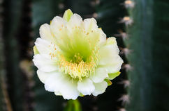 White cactus flower Royalty Free Stock Image