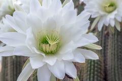White cactus flower closeup - Night blooming Cereus cactus - Nat. Ure background Royalty Free Stock Images