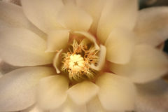 White cactus flower macro Stock Photos