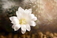 White cactus flower. Stock Photo